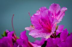 雨上がりの花びら