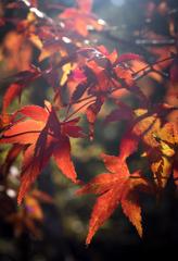 陽だまりの紅葉