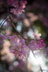 桃色の花1