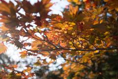 朝日と紅葉