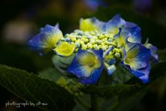 庭に咲く紫陽花は雨に濡れて奇麗だった