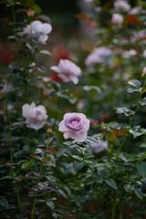 外出自粛さんの大好きな薔薇