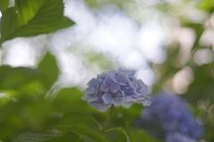 買い物ついでの紫陽花撮影