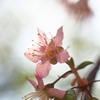 12月13日 ヒマラヤ桜