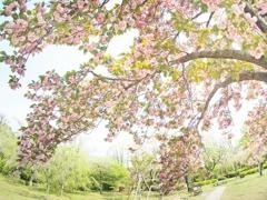 去りゆく季節:八重桜編
