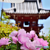當麻寺の牡丹祭り