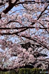 桜の法起寺