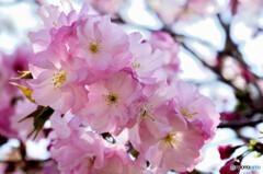 陽気に誘われて八重桜