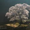 目覚める桜
