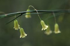 アスパラの花