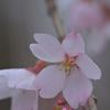 ハートが綺麗な横浜緋桜