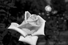 バラ(白黒現像)
