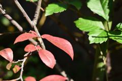 庭のブルーベリー(葉っぱ)も赤くなりました