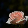 薔薇を撮りました⑧