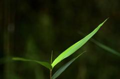 笹の葉、、、