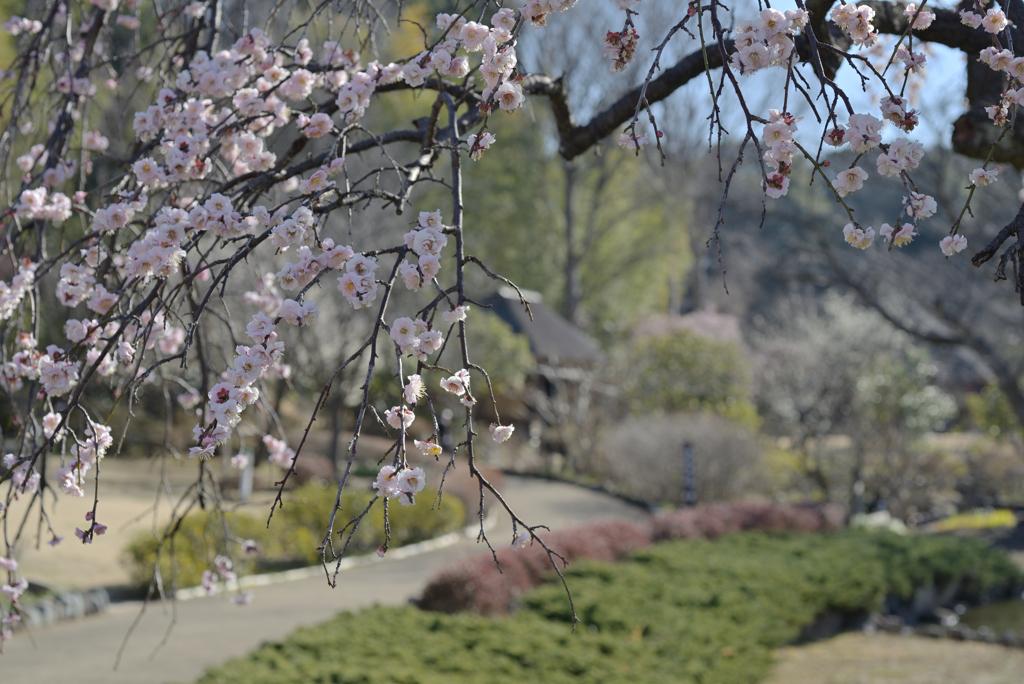 花木園の梅