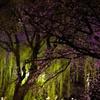 桜越しの夜を歩く