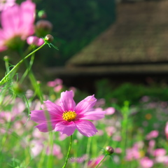 秋桜と萱葺屋根