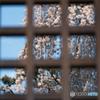 格子窓の春