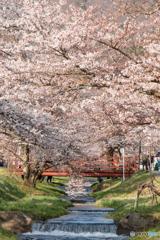 咲き誇る桜並木