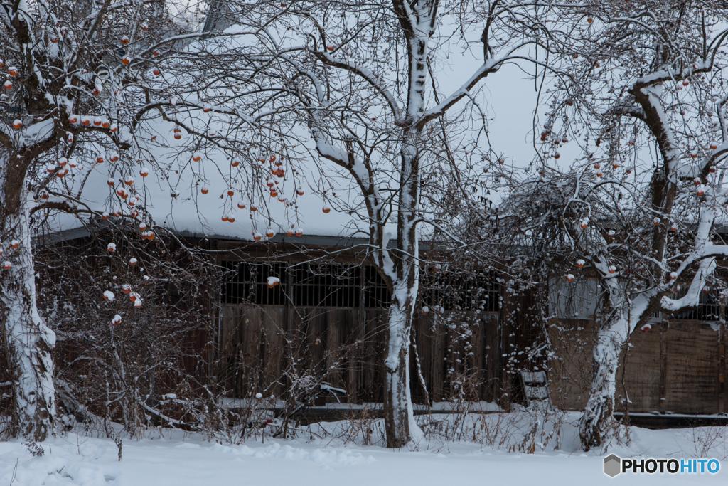 雪に佇む柿の木