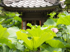 ハスに囲まれて 転法輪寺 神戸垂水