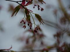 もみじの新芽と花