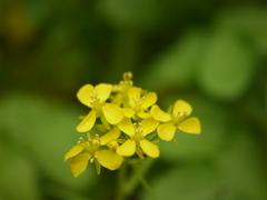 ミズナの花