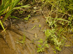 蛙 3匹見つけられるかな