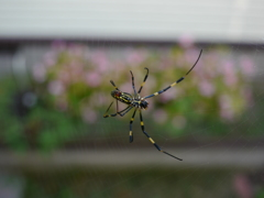 ジョロウグモ 巣づくり中