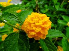 紫陽花、かな