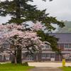 秋月城跡 秋月中学校の桜