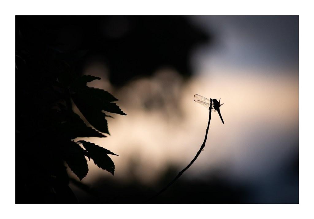 夕暮れのトンボ