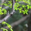 森の奥にいたコゲラ