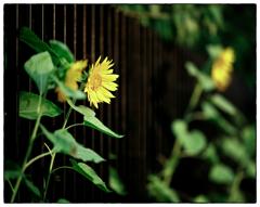 「散歩写真の事」小江戸川越散歩309