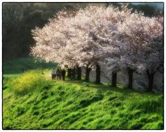 「桜の名所」自転車に乗って13