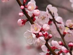 もうすぐ春 桃花紅