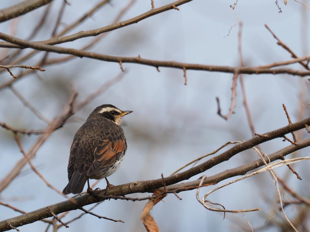 冬の散歩道の鳥 ツグミ