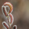 もうすぐ春 ネコヤナギ