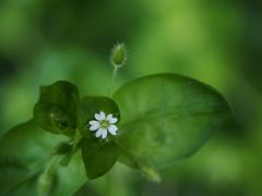 春の散歩道の白い花