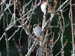冬の散歩道の鳥 スズメ