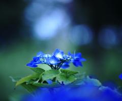 森に咲く、紫陽花