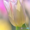 春のアイドル チューリップ