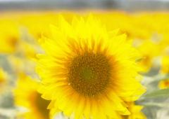 ひまわりって本当に太陽の花なんですね