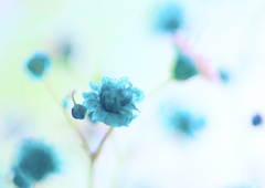 小春日和のブルーなカスミソウ