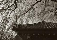 桜、星降るが程に咲き誇り