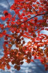 輝きの紅葉