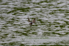 水浴びするツバメ