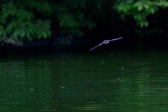 ツバメ 湖面を飛ぶ