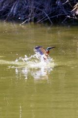 カワセミの撮影練習1 離水